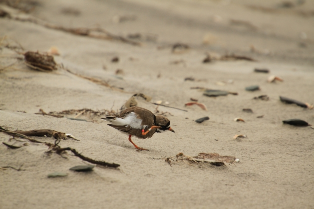 ringed plover scritch