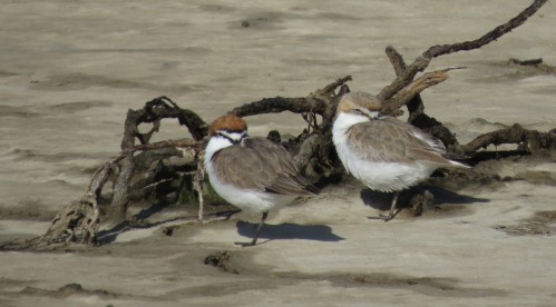 Resting pair of Red-capped Plovers