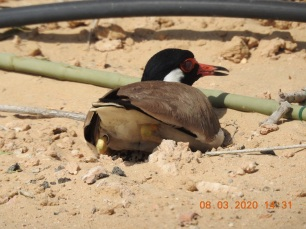 incubating red-wattled lapwing in UAE